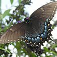 Eastern Tiger Swallowtail - Papilio glaucus (dark morph) ♀