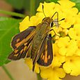 Fiery Skipper - Hylephila phyleus ♀