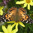 American Painted Lady - Vanessa virginiensis