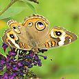 Buckeye - Junonia coenia