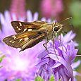 Sachem Skipper - Atalopedes campestris ♀