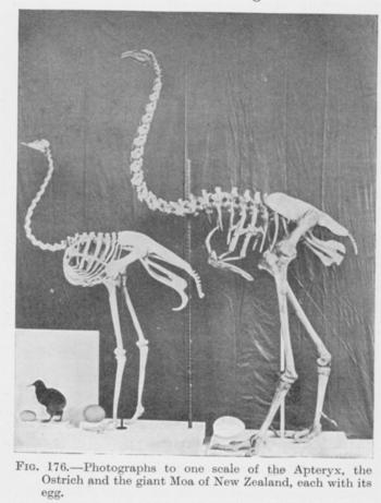 Large_extinctanimals_moa