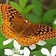 Great Spangled Fritillary - Speyeria cybele ♂