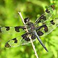 Banded Pennant - Celithemis fasciata ♂
