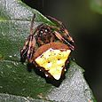 Arrowhead Spider - Verrucosa arenata ♀