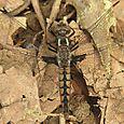 Blue Corporal - Ladona deplanata ♀