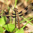 Common Whitetail - Plathemis lydia ♀