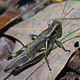 Red-legged Grasshopper - Melanoplus femurrubrum ♀