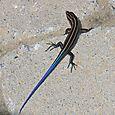American Five-lined Skink - Plestiodon fasciatus - Juvenile