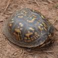 Eastern Box Turtle - Terrapene carolina carolina #1