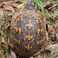 Eastern Box Turtle - Terrapene carolina carolina #2