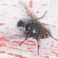 Blue Blowfly - Calliphora vicina ♂