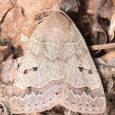 Common Oak Moth - Phoberia atomaris