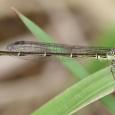 Fragile Forktail - Ischnura posita ♂