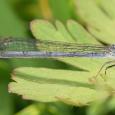 Fragile Forktail - Ischnura posita ♀