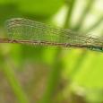 Rambur's Forktail - Ischnura ramburii ♀