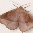 Curve-toothed Geometer - Eutrapela clemataria