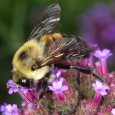 Brown-belted Bumble Bee - Bombus griseocollis ♂