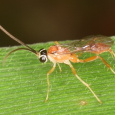 Unknown Ichneumon sp. #3