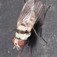 Anthomyia illocata ♀