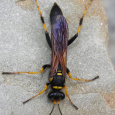 Black and Yellow Mud Dauber - Sceliphron caementarium ♀