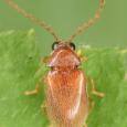 Ptilodactyla sp.