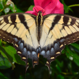 Eastern Tiger Swallowtail - Papilio glaucus ♀