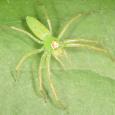 Magnolia Green Jumper - Lyssomanes viridis ♀