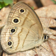Little Wood Satyr - Megisto cymela