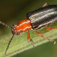Oulema sp.