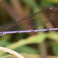Violet Dancer - Argia fumipennis violacea ♂