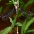 Southern Spreadwing - Lestes australis ♂