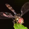 Ocyptamus fuscipennis ♀
