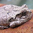 Cope's Gray Treefrog - Hyla chrysoscelis