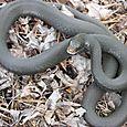 Black Racer - Coluber constrictor #2