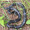 Eastern Kingsnake - Lampropeltis getula