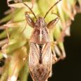 Oedancala dorsalis