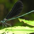 Ebony Jewelwing - Calopteryx maculata ♂