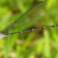 Blue-fronted Dancer - Argia apicalis ♂