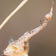 Uloborus glomosus ♀