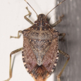 Brown Marmorated Stinkbug - Halyomorpha halys