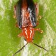 Pachyonychus paradoxus