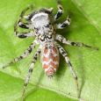 Dimorphic Jumping Spider - Maevia inclemens ♂ Light Form