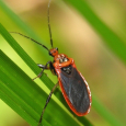 Scarlet-bordered Assassin Bug - Rhiginia cruciata