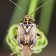 Tarnished Plant Bug - Lygus lineolaris