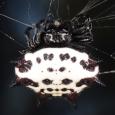 Spiny-backed Orbweaver - Gasteracantha cancriformis