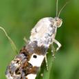 Exposed Bird Dropping Moth - Tarache aprica