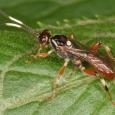 Cratichneumon annulatipes/paratus (?)