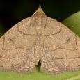 Zanclognatha cruralis/obscuripennis
