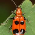 Six-spotted Neolema - Neolema sexpunctata